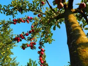 apple-tree-694015_960_720